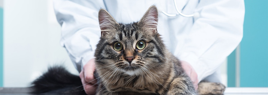 An Update On Feline Hypothyroidism Vetbloom Blog